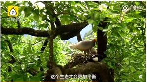 �q鹊相争勇者胜!两只喜鹊想占巢,朱�q妈妈勇猛护住