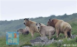 佛坪连续发现罕见特大秦岭羚牛繁殖群