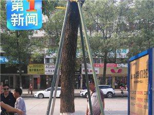 汉中城区绿化树加固存安全隐患追踪:已经全部固定