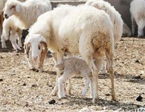 定边滩羊:寻找古老羊种新出路 助力农民增收致富