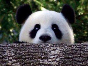 熊猫可爱照片欣赏