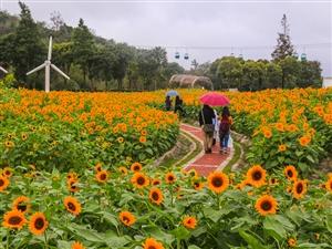 南通园博园向日葵盛开 市民雨中赏花乐