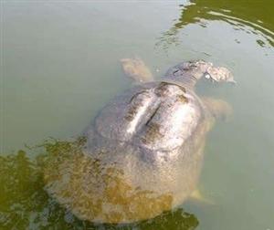 江西惊现千年老鳖惊动全球 身长1米多重78斤