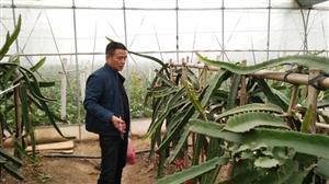 汉川创业村村民引种火龙果致富