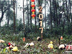 2016新生熊猫宝宝集体亮相 卖萌拜年