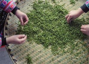 宜宾兴文县今春早茶开采 全国同纬度地区最早
