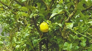 我市首次发现柑橘原生品种