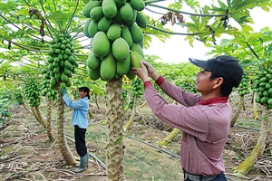儋州木瓜迎来丰收季