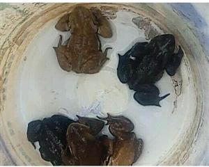 逮癞蛤蟆也犯法?农民为吃野味抓114只癞蛤蟆被刑拘