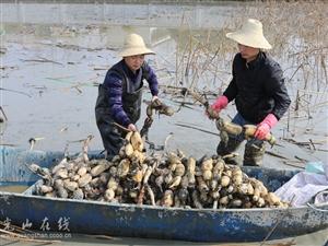 光山县鑫磊农业专业合作社春节过后大片莲藕迎来丰收
