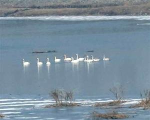 燕山湖及大凌河段出现天鹅种群