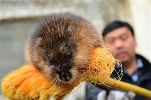 新密村民掂扫帚追打大老鼠 竟是濒危物种