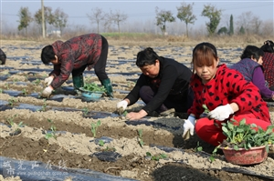 光山县蔚蓝农业专业合作社种植特色蔬菜西兰花富农家