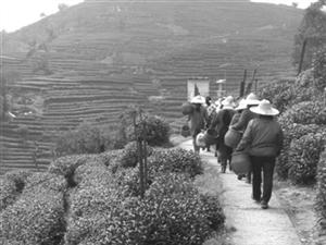 明前龙井茶进入大规模采摘期 售价与去年持平
