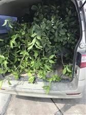 汉川男子用面包车运输树木被处罚