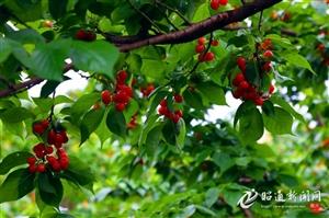 鲁甸樱桃文化旅游节将于本月28日开幕