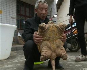 村民野外捡到19斤乌龟大惊