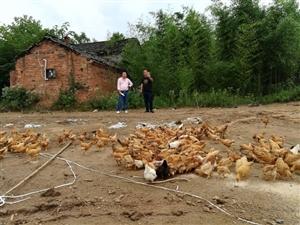光山县南向店乡:胡氏三兄弟养殖原生态土鸡和小龙虾奔富路