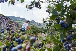 黔江:蓝莓成熟采摘忙