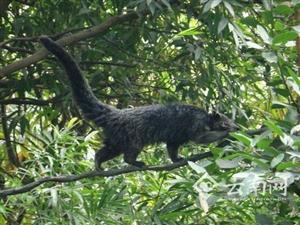 """云南野生动物园将迎来 """"五腿兽"""" 它和大熊猫一样珍贵"""