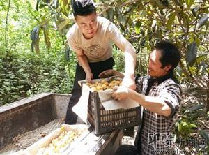 九寨沟县贫困村枇杷滞销 援藏干部伸援手 社会爱心接力助果农