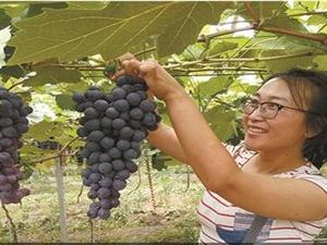 葡萄透心甜 农民笑开颜