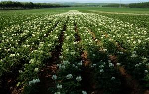 扎兰屯市马铃薯开花田野形成一道风景线