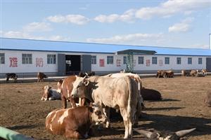 呼伦贝尔市最大蒙东养殖场育肥肉牛达一万头