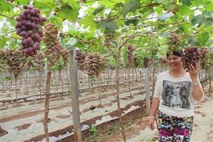 面积10万余亩  产值7亿多元我市以标准化生产促葡萄产业提质增效