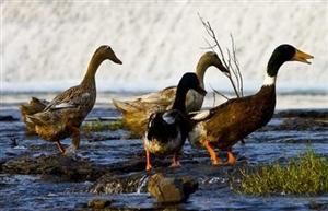 """三穗鸭迎来首张""""有机鸭认证"""""""