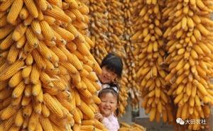 2017年我国玉米市场行情如何?听听这些专家怎么说!