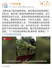 广州日报:龙门菜农蔬菜滞销 整车菜丢回田里沤肥