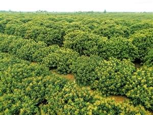 红明农场多措并举发展荔枝产业
