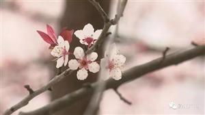 看樱花何必去外地!黔江这里的樱花也很美!