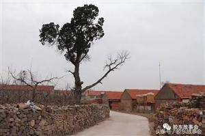 胶东古树影像:莱阳这个村,有两棵数百年的柏树