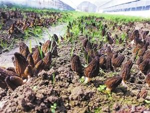 珠海帮扶怒江种植的羊肚菌收获了 来自大山里的鲜味等你尝