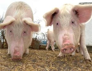 猪价终于上涨了,全国养猪户们的春天要来了!