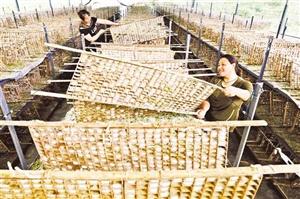 黔江:桑蚕长成大产业
