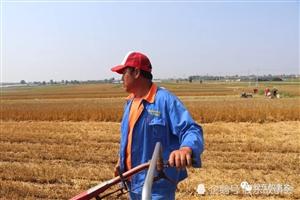 收麦子了,看看莱阳农村的麦收场景