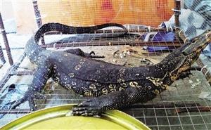 琼海:巨蜥闯入工地工棚 有人出钱想买 农民工不答应