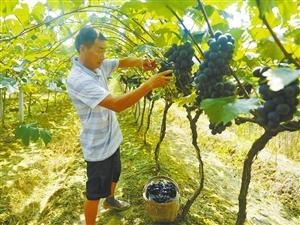 汉中洋县200亩特色产业种植基地里瓜篓、生姜长势喜人