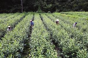 汉中宁强种植无性系茶园280亩