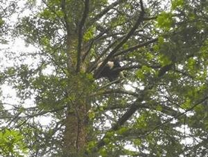 罕见!卧龙拍到野生大熊猫幼崽 树上上蹿下跳萌翻众人