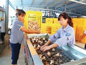 汉中洋县白石村绿康食用菌抱团发展产业