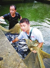"""汉中南郑梁山""""好汉""""田嘉家的鲈鱼要上市了"""