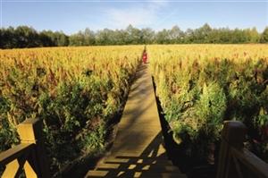藜麦成为地方旅游的一大特色产品