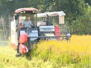 长兴30万亩水稻大丰收开镰收割