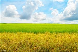 金黄的水稻田
