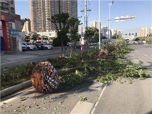 """鄂州滨湖南路增新绿,樟树在此""""安家落户"""""""