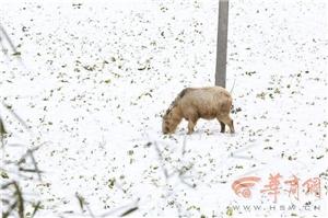 宁强:大雪中羚牛下山觅食